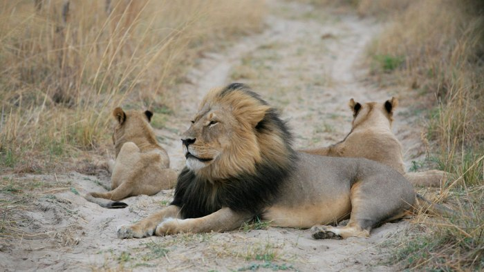 Cecil and his cubs