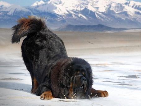 455_Tibetan_Mastiff_Bowing_crop