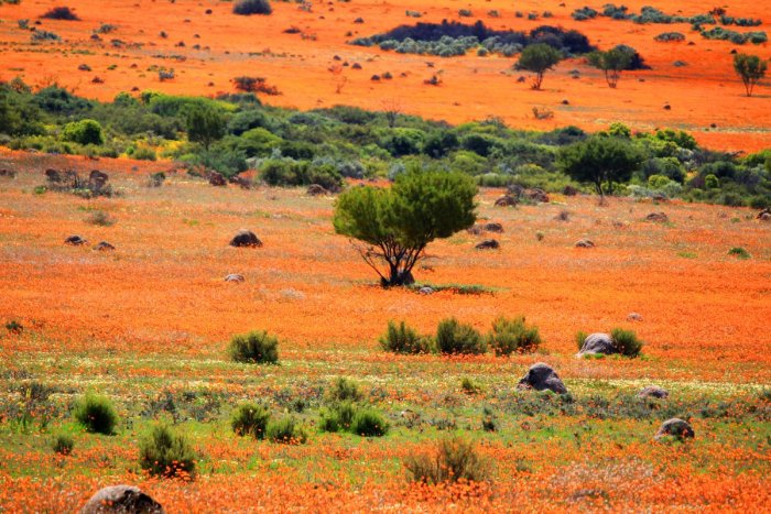 every-spring-namaqualand-an-arid-region-of-namibia-and-south-africa-that-stretches-over-some-600-miles-suddenly-fills-with-orange-and-white-daisies-the-result-is-one-of-the-most-surreal-landscapes-in-the-world