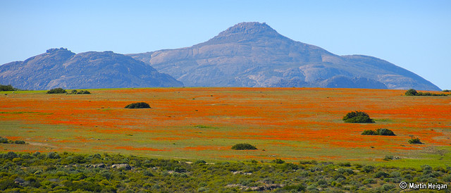 The Wild flowers of Namaqualand (between Kamieskroon and Garies), Namaqualand, Northern Cape, South Africa, August 2007. Martin Heigan mh@icon.co.za http://anti-matter-3d.com http://www.flickr.com/photos/martin_heigan