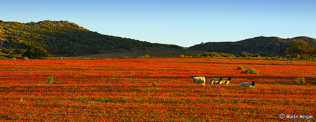 Fields of Namaqua Daisies in Namaqualand. Kamieskroon, Namaqualand, Northern Cape, South Africa, August 2007. Martin Heigan mh@icon.co.za http://anti-matter-3d.com http://www.flickr.com/photos/martin_heigan