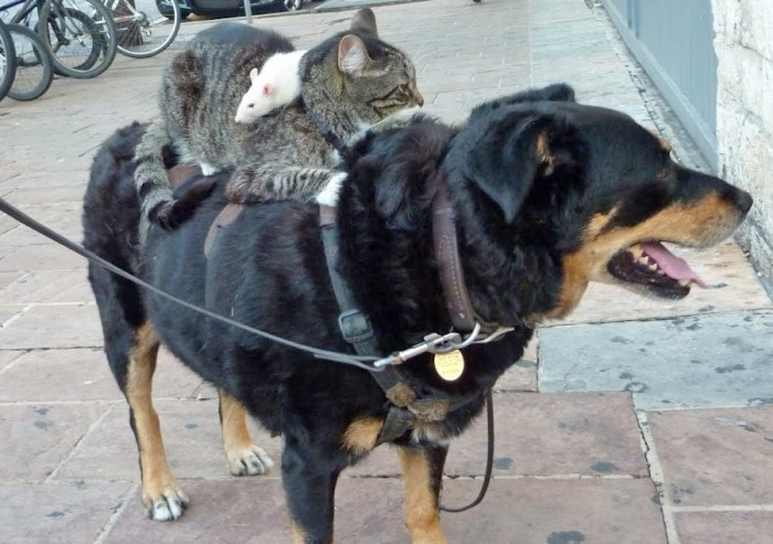 rats-on-cats-on-dogs-1
