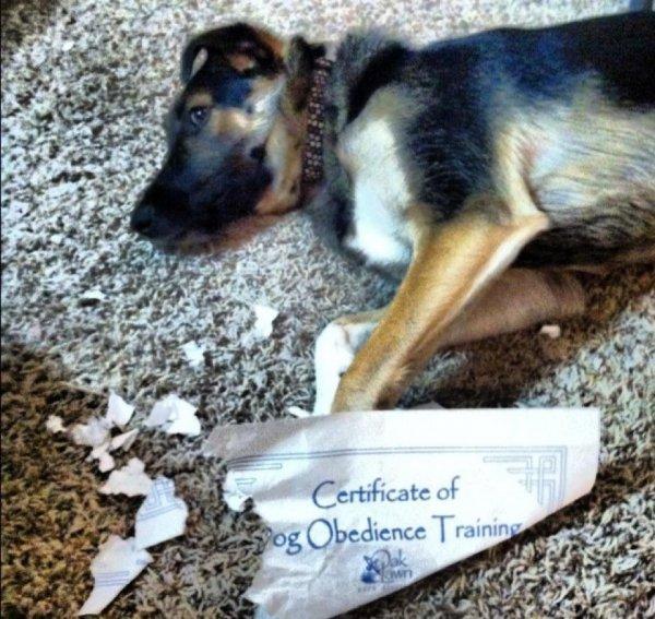 2a88b543c4711c7280d64b41a72cb56e-dog-eats-certificate-of-dog-obedience