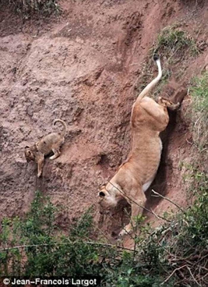 animals-Mom-saves-babe-tiger