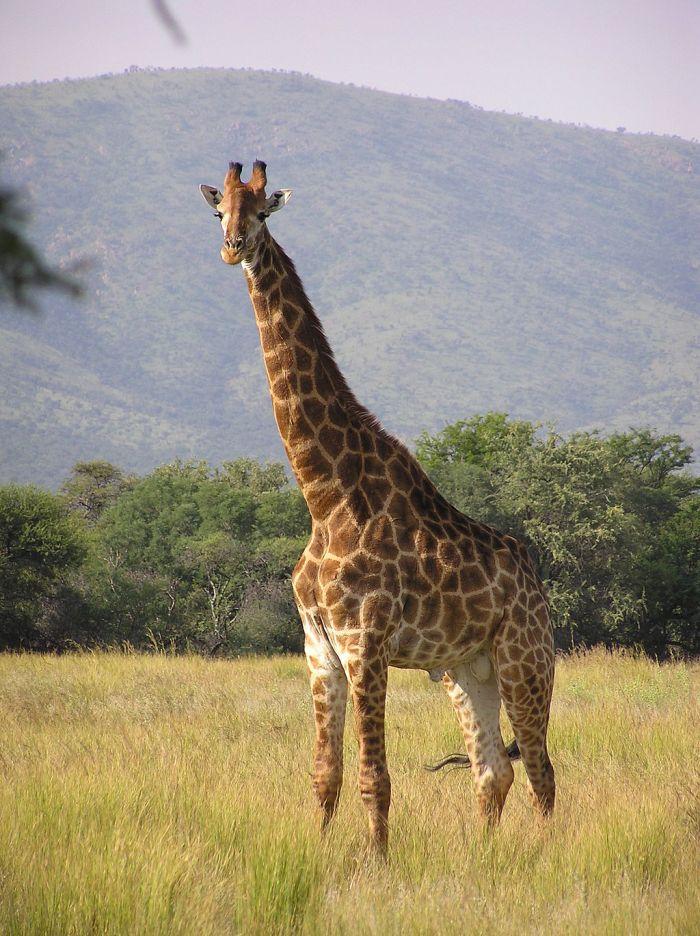 1024px-giraffe_standing