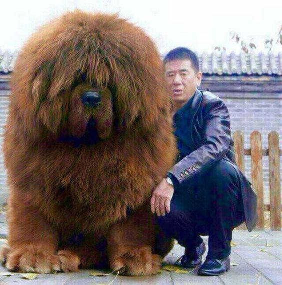The Tibetan Mastiff – Janet Carr