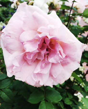 A blooming rose somewhere in an English garden