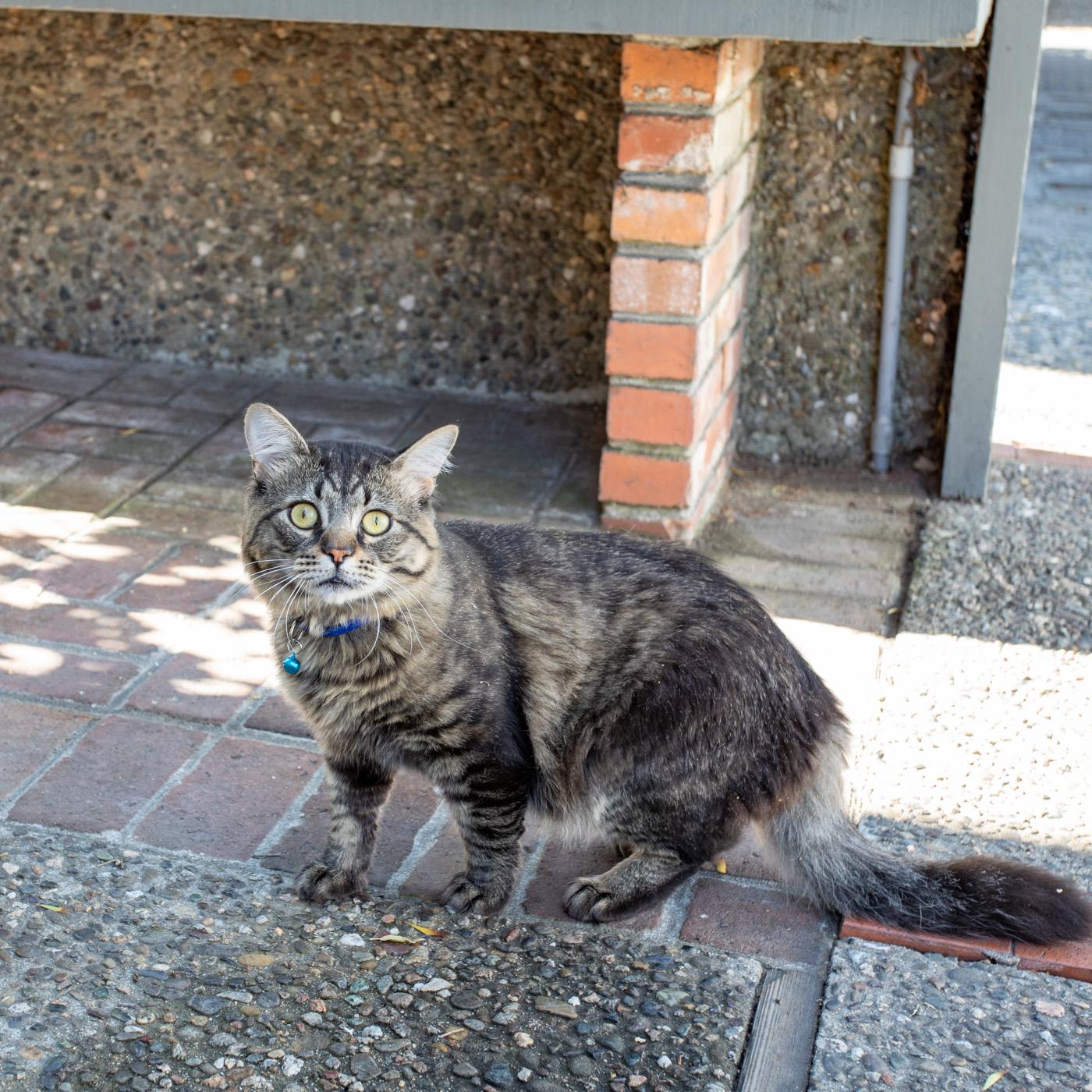 Carmel Cat