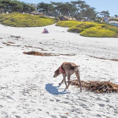 Carmel Dog
