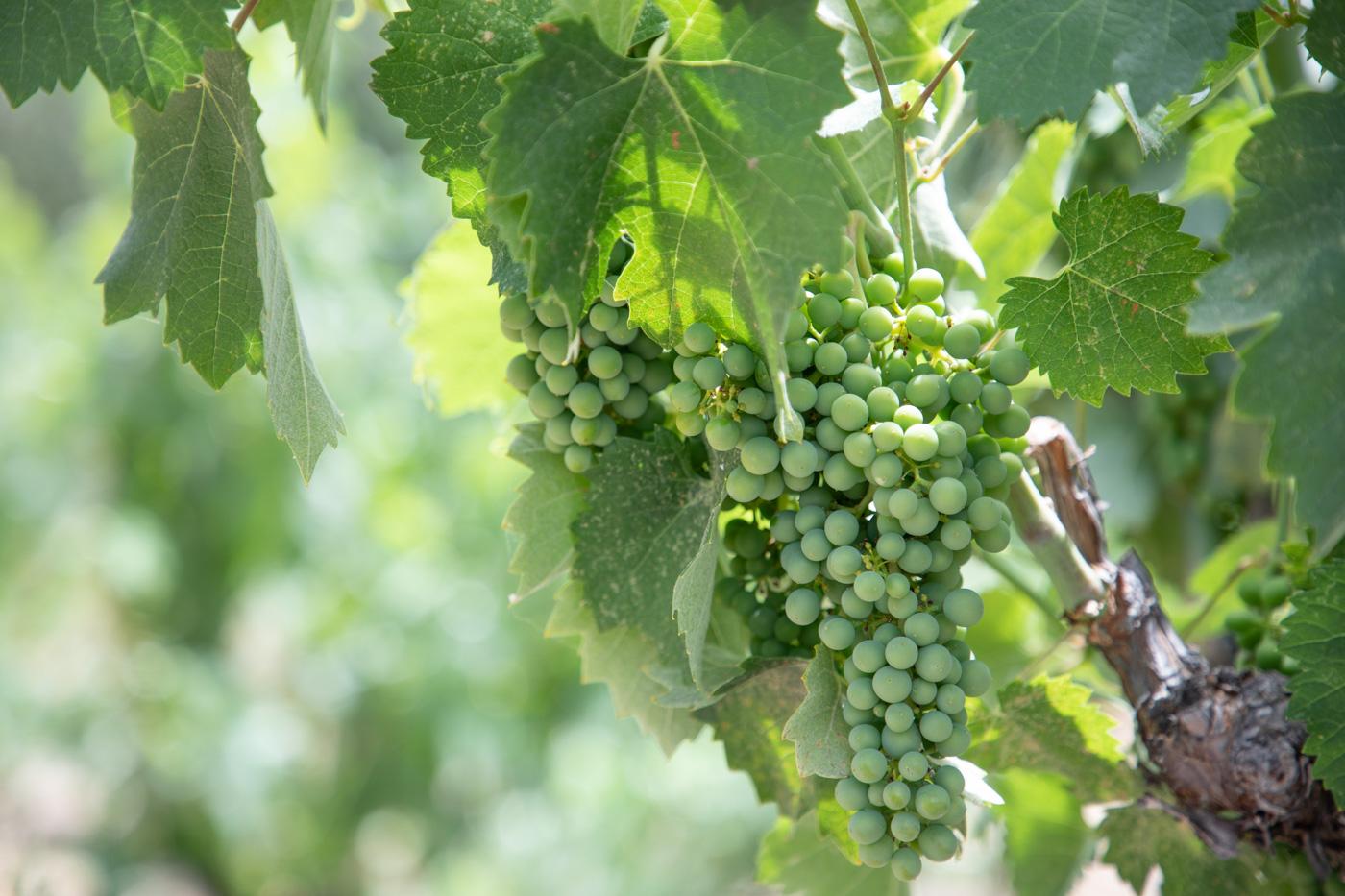 Tablas Creek Vineyard