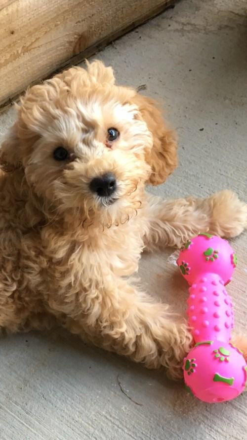 Barkley Cockapoo puppy 3 months