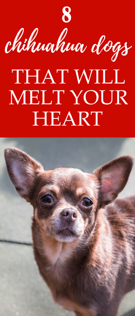 Chihuahua Breeds: Learn about the different types of Chihuahua dog through photos of 8 Chihuahuas such as the long haired Chihuahua, teacup Chihuahua & more.