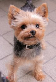 yorkie haircuts / yorkie puppy cut