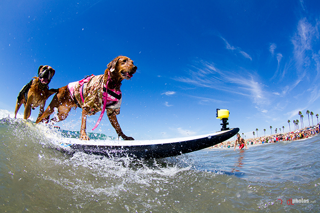 22 Spectacular Pictures of Dogs Riding the Waves at the