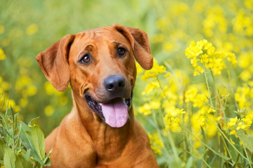 Cute beautiful rhodesian ridgeback dog puppy in a field of flowers