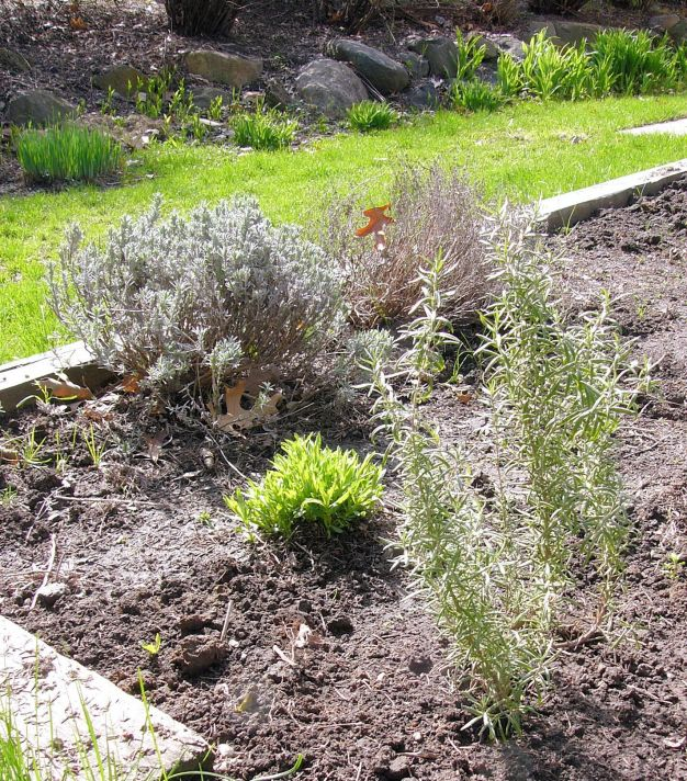 Rosemary, tarragon, lavender and thyme