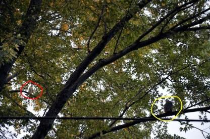 Hawk versus Owl in our backyard