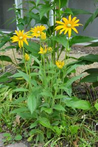 No-black-eye black-eyed Susan