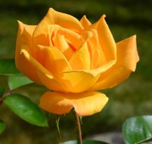 Yellow Rose of Sconnieland 3