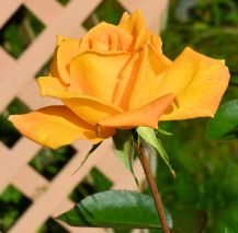 Yellow Rose of Sconnieland 2