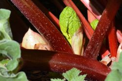 Lots of rhubarb shoots at various stages of development