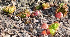 Rhubarb nubbins two weeks ago