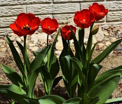 20150419_DSC_9872_tulips