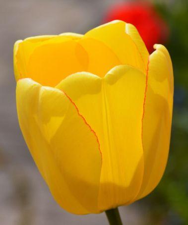 20150501_DSC_0201_tulips