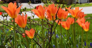20150501_DSC_0205_tulips