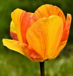 20150501_DSC_0216_tulips