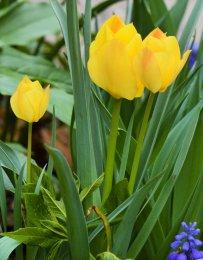 20150508_DSC_0316_tulips