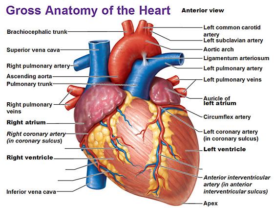 cardiovascular strain and heart health