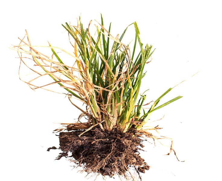 Ornamental grass care when and how to cut back divide for Large ornamental grass plants