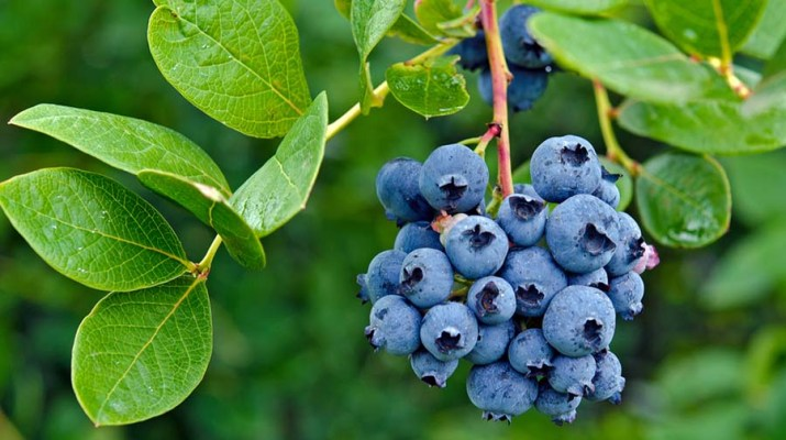 planting blueberry bushes