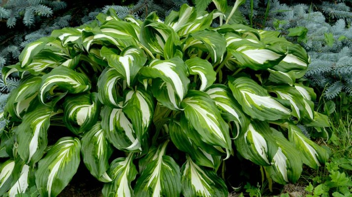 Shade Loving Plants 4 Great Perennials That Thrive