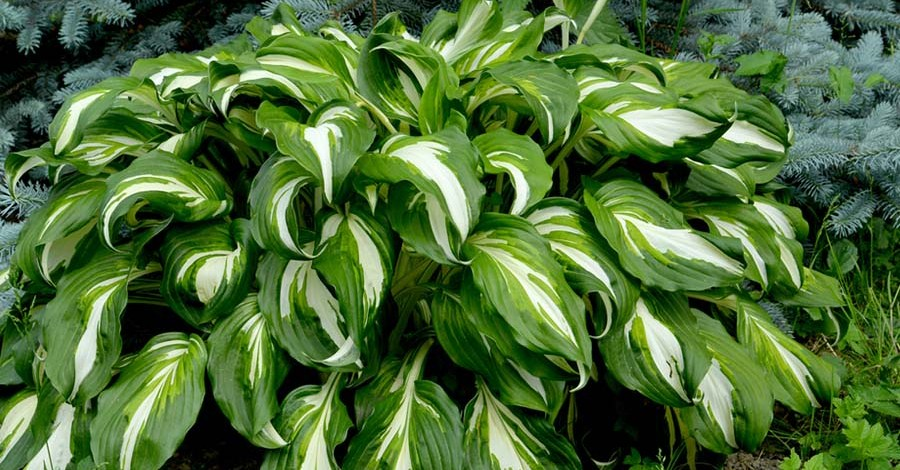 Shade Loving Plants – 4 Great Perennials That Thrive Without Sunlight