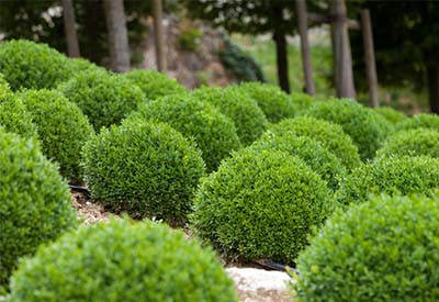 3 evergreen shrubs that give gorgeous year round color to for Low maintenance year round plants
