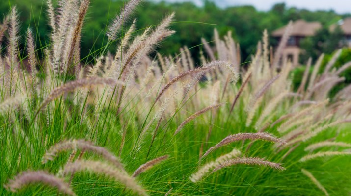 Ornamental grass care archives this is my garden 4 ornamental grass varieties to add low maintenance style to your yard workwithnaturefo