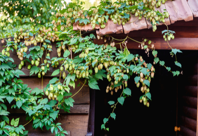 grow hops