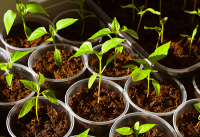 harden off vegetable plants