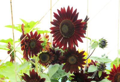 growing sunflowers