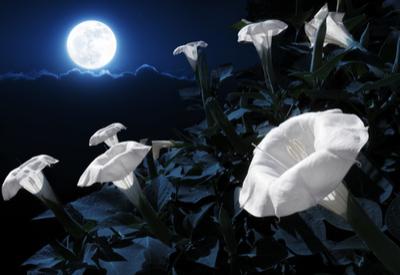 night blooming plants