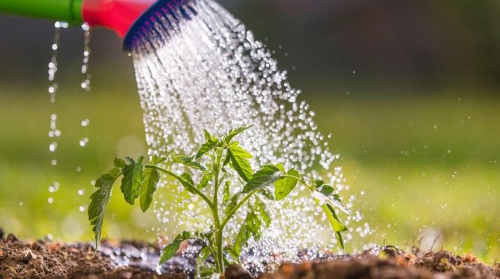 watering vegetable plants