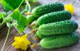 The Secrets To Growing Cucumbers – 6 Great Tips For Success