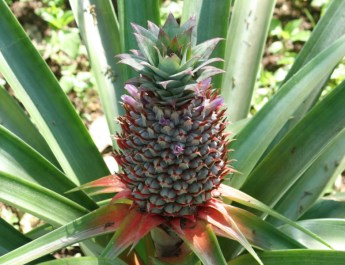 growing pineapple plants