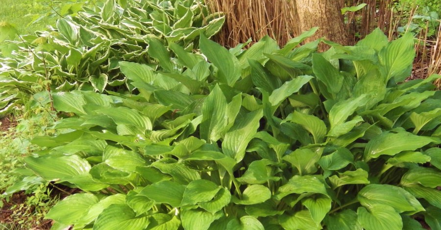 Dividing Hostas And Daylilies In The Summer – How To Multiply Plants!