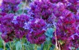 Purple Perennials! 4 Great Plants To Add Purple To The Landscape!