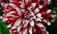 Growing Dahlias – Big Summer Blooms With Gorgeous Color!