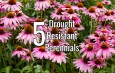 5 Excellent Drought Tolerant Perennials That Beat The Summer Heat!