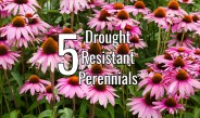 5 Excellent Drought Tolerant Perennials That Beat The Summer Heat!